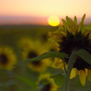 campo cultivo girasol 300x300 Inversionistas de India y Sudáfrica Apuntan a Uruguay para la Creación de un Fondo Agrícola