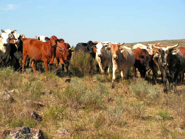 cria de bovinos y ovinos Estancia Las Cañas Exclusivo de Caldeyro Victorica