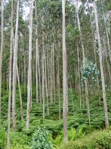monte de eucalipto 224x300 Inversionistas de India y Sudáfrica Apuntan a Uruguay para la Creación de un Fondo Agrícola