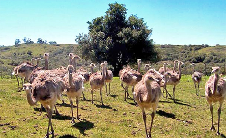 salamora avestruces1 Turismo Rural en Uruguay: Tres Opciones Para Este Otoño