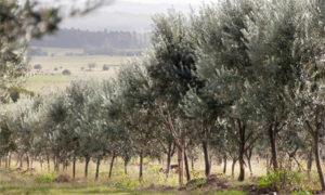 campos de olivos uruguay 300x180 Produciendo Aceite de Oliva Extra Virgen en Uruguay