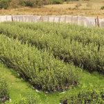 oliviticultura en uruguay 03 150x150 Los Olivos en Uruguay: una Buena Inversión