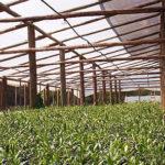 oliviticultura en uruguay 04 150x150 Los Olivos en Uruguay: una Buena Inversión