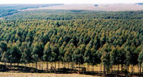 forestacion460x250 Informe del Sector Forestal en Uruguay